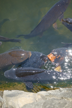 鯉の大きさも、ぱねぇっス.jpg